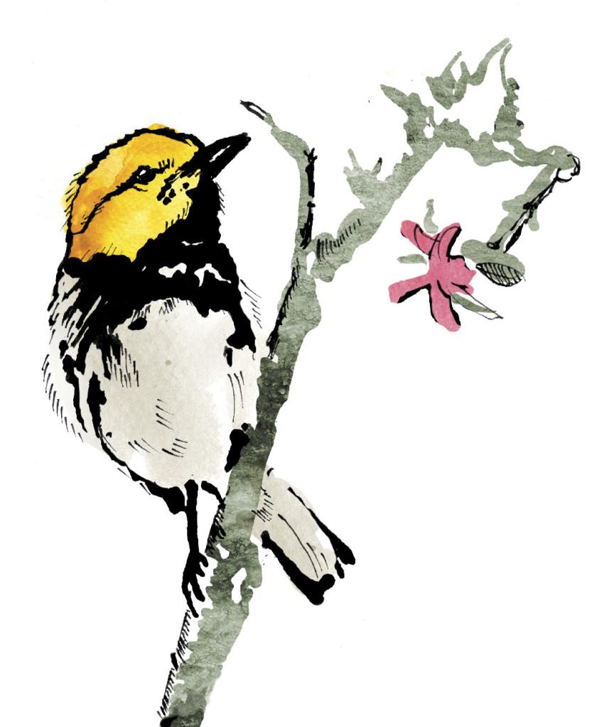 golden-warbler