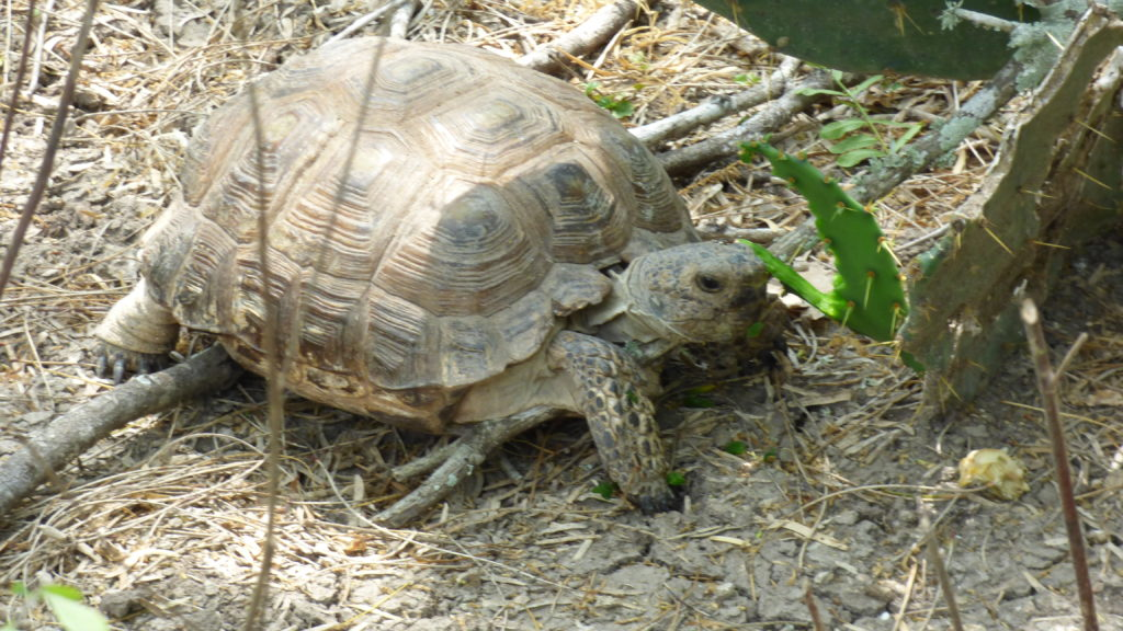 Texas Tortoise eating cactus